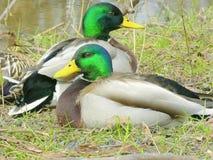 Mallards 2. Mallards sitting at edge of creek Stock Image