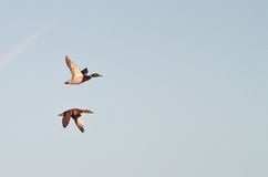 Mallards. Male and female mallards flying together stock images