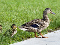 Mallards. Mallard ducks. Mom leading babies. Baby behind mom is either yawning or quacking Royalty Free Stock Photography