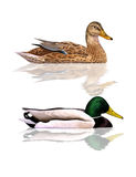 mallards vector illustratie