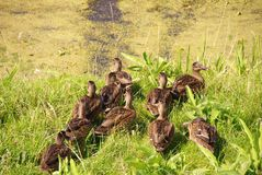 Mallards. A team of mallards at the waterfront of a ditch with duckweed Royalty Free Stock Photo