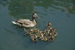 Mallards (Anas platyrhynchos). A mother with her brood, here in South Carolina, USA Stock Images