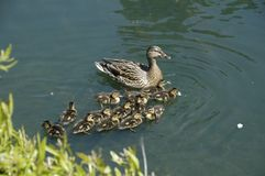 Mallards (Anas platyrhynchos). A mother with her brood, here in South Carolina, USA Royalty Free Stock Images