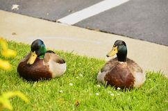 Mallards (Anas platyrhynchos). A bird found all over the world , here in Virginia, USA Stock Images