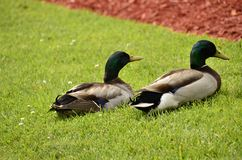 Mallards (Anas platyrhynchos). A bird found all over the world , here in Virginia, USA Royalty Free Stock Photography