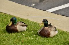 Mallards (Anas platyrhynchos). Found all over the world, photographed here in the Eastern USA Stock Photos