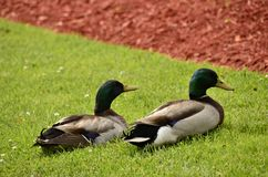 Mallards (Anas platyrhynchos). Found all over the world, photographed here in the Eastern USA Stock Image