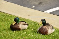 Mallards (Anas platyrhynchos). Found all over the world, photographed here in the Eastern USA Royalty Free Stock Photography