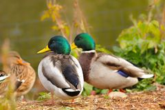 Mallards Anas platyrhynchos. Wild ducks fly to the zoo where they find enough food stock photos