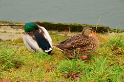 Mallards Anas platyrhynchos. Photographed here in Germany this water bird can be found world wide Royalty Free Stock Photography