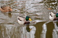 Mallards Anas platyrhynchos. Photographed here in Southern England, this water bird can be found on lakes and rivers all over the world Stock Images