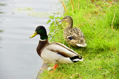 Mallards Anas platyrhynchos. Photographed here in Southern England, this water bird can be found on lakes and rivers all over the world Royalty Free Stock Images