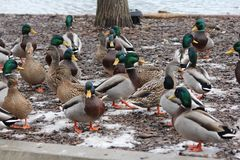Mallards-Anas platyrhynchos. Small group of male and female Mallards Anas platyrhynchos standing on dry land with ice patches Stock Photos