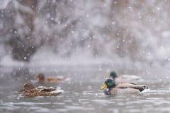 Mallards Anas platyrhynchos swim in heavy snow stock images