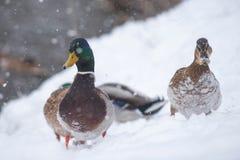 Mallards Anas platyrhynchos walking in the snowfall stock photography