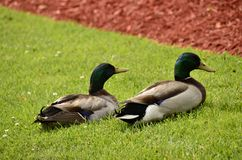 Mallards (Anas platyrhynchos). A water bird found all over the world Royalty Free Stock Photo