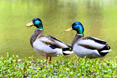Mallards on the bank of pond. Two males mallards ducks (Anas platyrhynchos) on grass near a pond Royalty Free Stock Photography