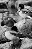Mallards black and white. Duck posing out on the lake Royalty Free Stock Photo