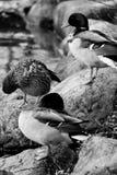 Mallards black and white Royalty Free Stock Photo