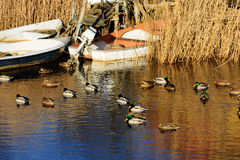 Mallards and boats. A small flock of mallards (Anas platyrhynchos) swim close to some boats moored in the reeds close to shore Stock Photography