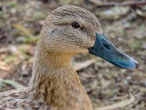 Mallard, Anas platyrhynchos Hens in profile, Western Springs P. Mallards can be seen on many ponds throught new zealand Royalty Free Stock Photos