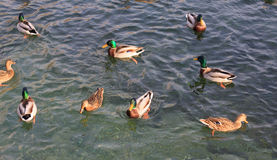 Mallards. In Cernobbio - Lake Como Royalty Free Stock Images