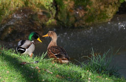 Mallards couple. Ducks couple cooing near the fall Stock Photos