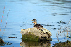 Mallards Couple. Mallard couple sits on gray water-logged tree stump in shallow deep blue lake water Royalty Free Stock Image