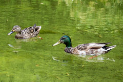 Mallards. Couple of royal ducks swallowing in a reservoir Royalty Free Stock Images