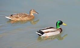 Mallards couple. Couple of mallards swimming in the lake Royalty Free Stock Image