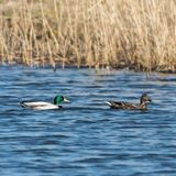 Mallards couple swimming in natural habitat. Beautiful Mallards, Anas Platyrhynchos, swimming in a sunlit natural habitat Royalty Free Stock Photography