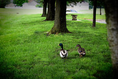 Mallards courting. Couple of Mallards walking and discussing the dating scene Royalty Free Stock Images