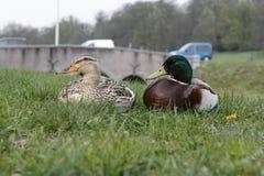 Mallards in the De La Reijstraat in Arnhem,. Netherlands Stock Photos