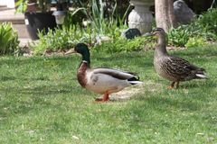 Mallards-Drake & Hen Anas platyrhynchos on Home Grass. Mallards, drake and hen Anas platyrhynchos, standing on the grass of a residential home Stock Photo