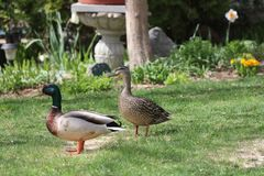 Mallards-Drake & Hen Anas platyrhynchos on Home Grass. Mallards, drake and hen Anas platyrhynchos, standing on the grass of a residential home Stock Image