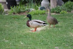 Mallards-Drake & Hen Anas platyrhynchos on Home Grass. Mallards, drake and hen Anas platyrhynchos, standing on the grass of a residential home Royalty Free Stock Image