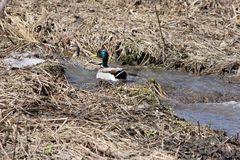 Mallard Duck Drake & Hen in Ditch. Mallards  Drake & Hen swimming up  a ditch full of water Stock Photos