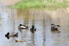 Mallards-Drake in Stream. A small grouping of male Mallard ducks in a calm area of a small stream Royalty Free Stock Photos