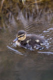 Mallards duckling. In the water Royalty Free Stock Photography