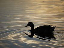 Mallards evening swim. A mallard swimming across a still lake at sunset in the sunmer Stock Image