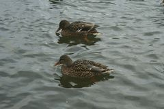 Mallards on the water. Mallards females swims on the water Royalty Free Stock Photography