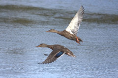 Mallards in Flight. Pair of Mallards (Anas platyrhynchos) flying over water Stock Photos