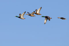 Mallards in flight. Mallards (Anas platyrhynchos) in flight (2 males, 3 females Royalty Free Stock Images