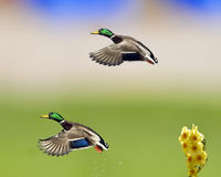 Mallards In Flight With Daffodil. Two mallard drakes flying with daffodil in the foreground Royalty Free Stock Photo