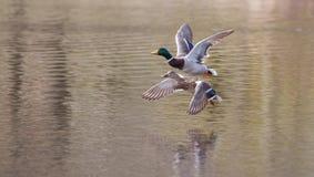 Mallards in flight. Male and Female Mallards in flight above lake Stock Photo