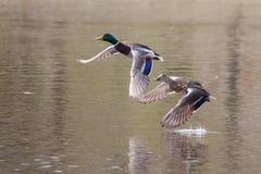 Mallards in flight. Male and Female Mallards in flight above lake Royalty Free Stock Photo