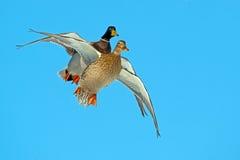Mallards in Flight. Male and Female Mallard in flight against blue sky Stock Image