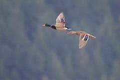 Mallards in flight near Harrison British Columbia Royalty Free Stock Photo