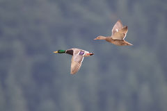 Mallards in flight near Harrison British Columbia Royalty Free Stock Photography