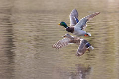 Mallards in flight in soft focus. Male and Female Mallards in flight above lake in soft focus Stock Photo